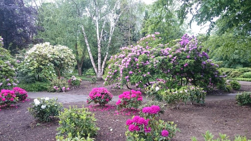 Neue Rhododendren blühen