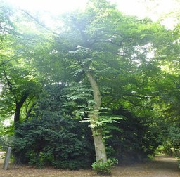 Baumfällungen: Linde, Arboretum #1