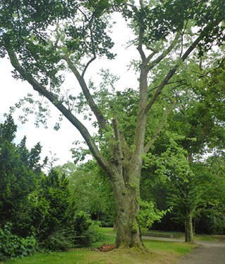 Baumfällungen: Zuckerahorn, Stadtgarten