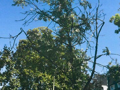 Baumfällungen: Esche, Jostenallee 38