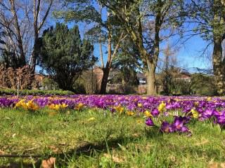 Botanischer Garten im April 2021: Crocus im Februar