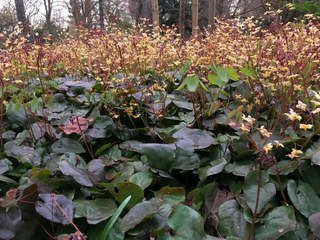 Botanischer Garten im April 2021: Epimedium