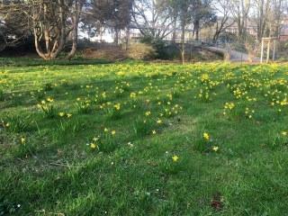 Botanischer Garten im April 2021: Narzissenwiese