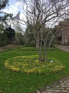 Botanischer Garten im April 2021: Waldsteinia