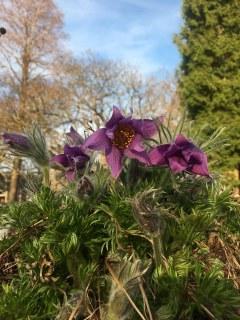 Botanischer Garten im Mai 2021: Kuhschelle