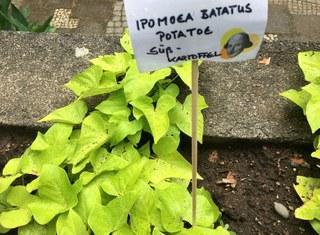Botanischer Garten im Juni 2021: Süßkartoffel