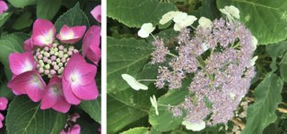 Botanischer Garten im August 2021: Blütenmorphologie der Hortensie