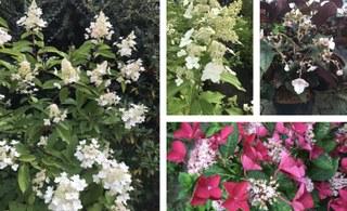 Botanischer Garten im August 2021: Hortensien-Blütenvielfalt