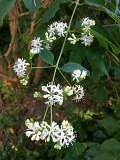 Botanischer Garten im September 2021: Strauch der sieben Söhne (Blüte)