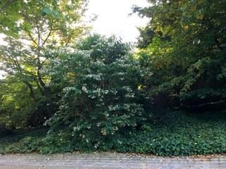 Botanischer Garten im September 2021: Strauch der sieben Söhne