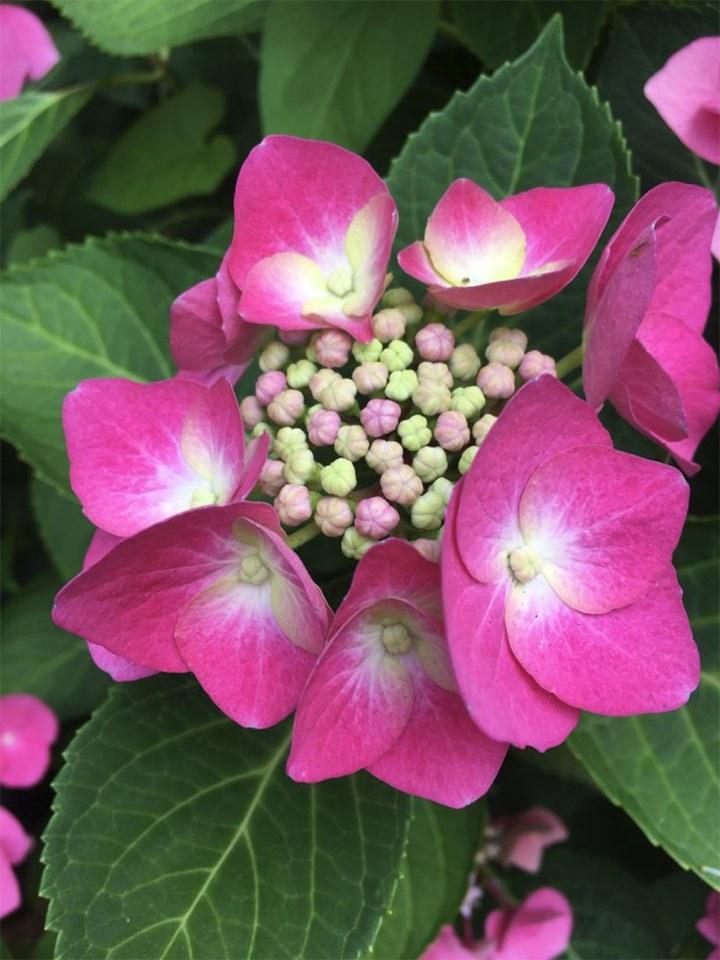 Hortensien nicht nur im Botanischen Garten der Stadt Neuss